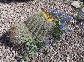 Barrel Cactus, Ferocactus