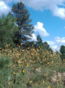 Flagstaff scene sunflowers nice