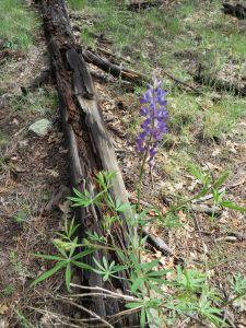 Lupine, Lupinus argenteus