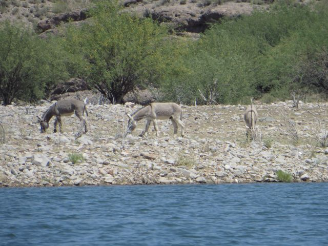 Mesquites growing on the shore at Lake Pleasant, with wild burros.
