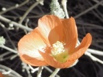 Desert Globe Mallow in bloom.