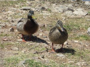 Outdoors Ducks