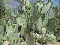Prickly Pear, Opuntia Engelmanii