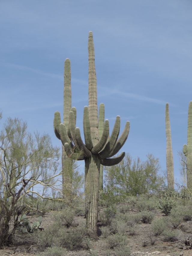 This Saguaro at Lake Pleasant has unusually symmetric arms