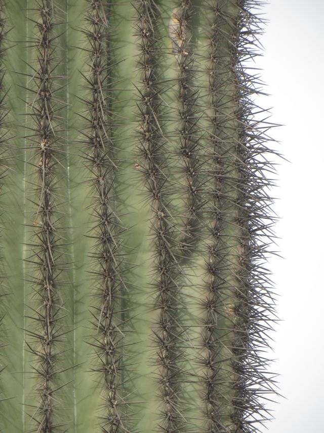 Lots of spines protect the Saguaro from hungry animals