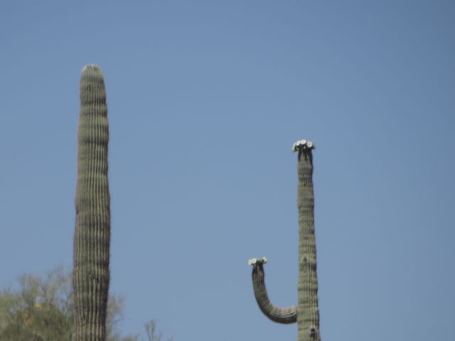 The flowers on a Saguaro form at the top and the ends of the arms.