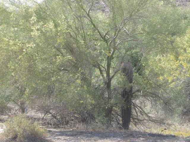 Saguaros like to sprout under the protection of desert trees like this Palo Verde.