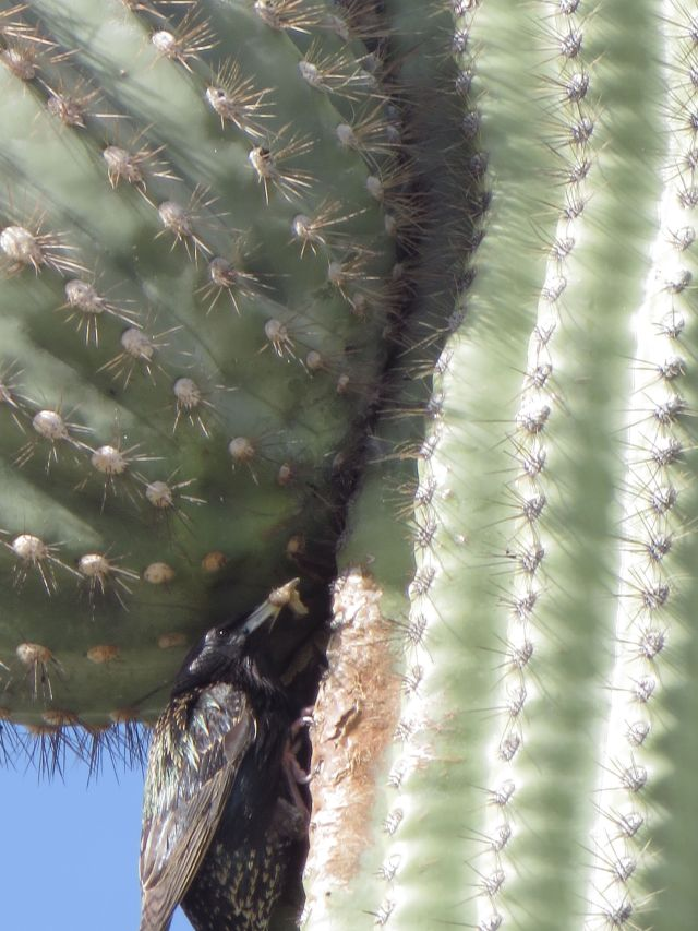 A Starling serves up breakfast to babies in a nest inside the Saguaro