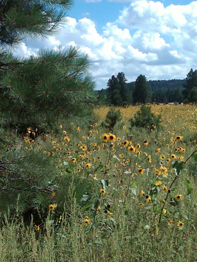 Flagstaff scene with sunflowers nice