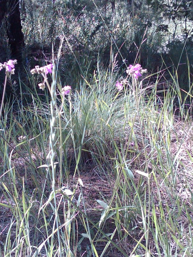 Flagstaff wildflowers August 26