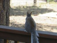 Abert squirrel with winter ear tufts