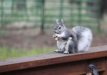 Abert squirrel with summer ears