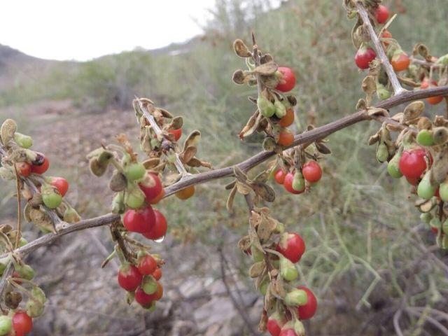 Ziziphus berries