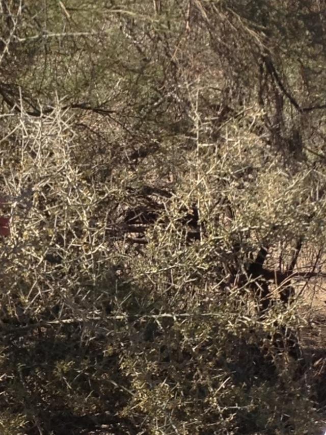 Ziziphus at North Mountain Preserve, Phoenix