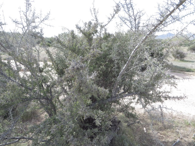 Ziziphus at McDowell Mountain Park