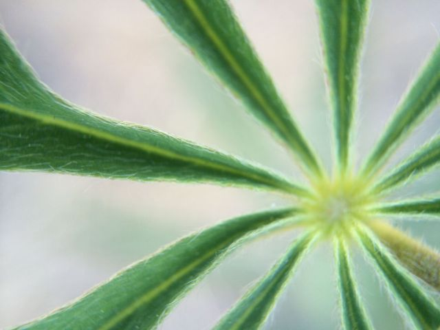 Lupine leaf center