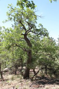Rocky Ridge old oak tree
