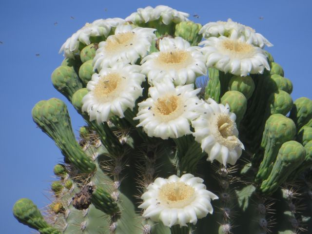 The Saguaro flowers open at night and are pollinated by bats, then birds and insects the next day.
