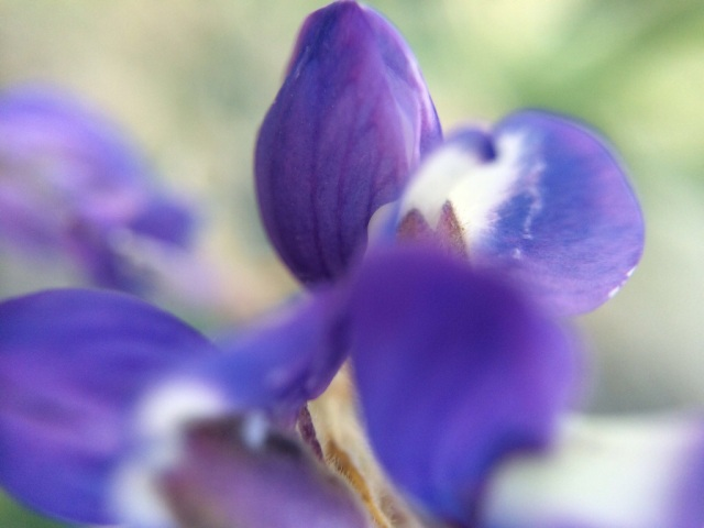 The flowers of the Lupine come in small clusters.