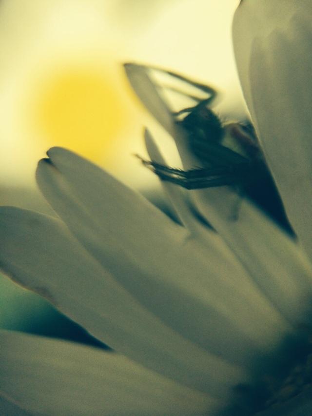 Spider in flower.