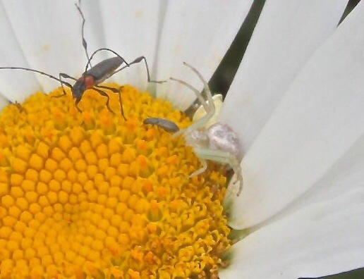 The Crab Spider is well camouflaged in the white daisy and quickly devoured the smallest insect.
