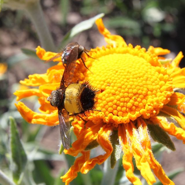 Fuzzy yellow and black fly