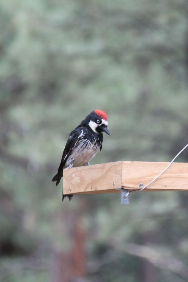 A Red-headed Acorn Woodpecker