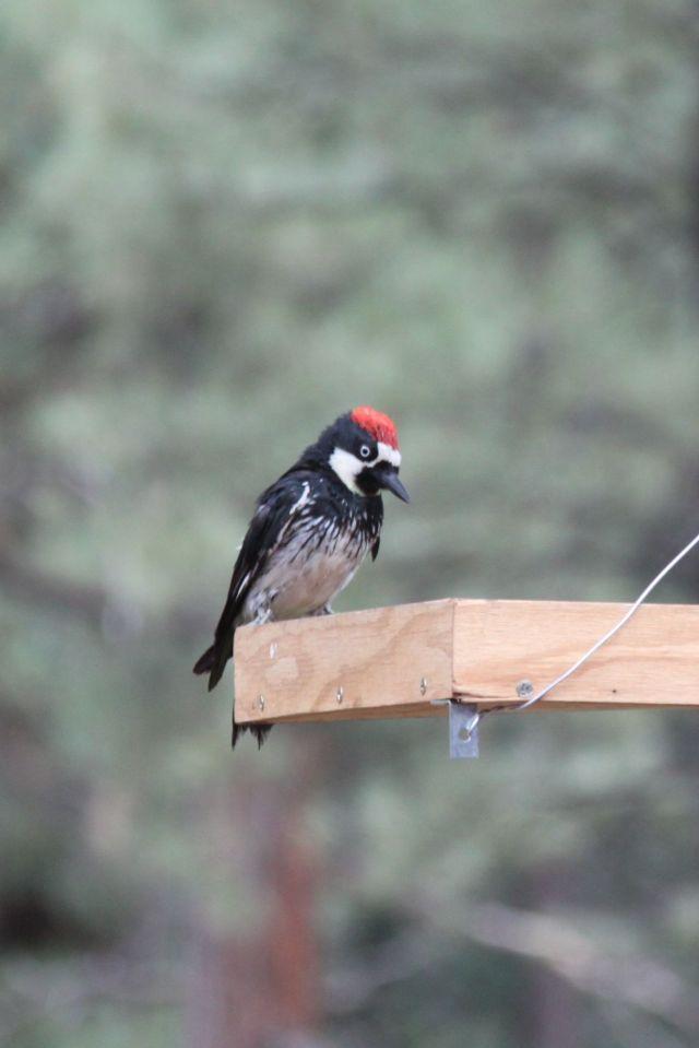 A Red-headed Acorn Woodpecker