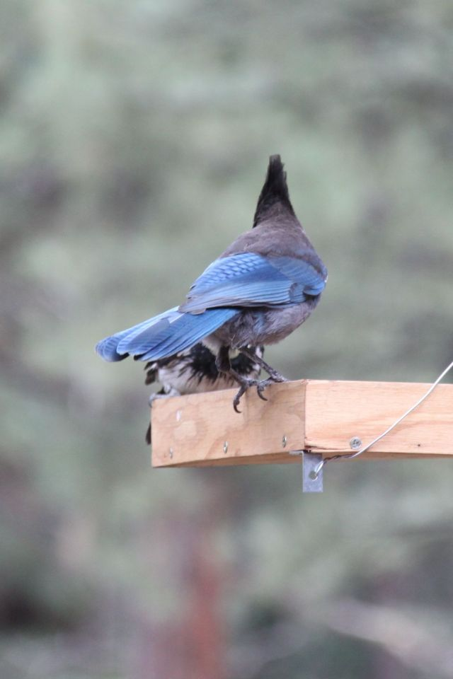Steller's Jay and Acorn Woodpecker