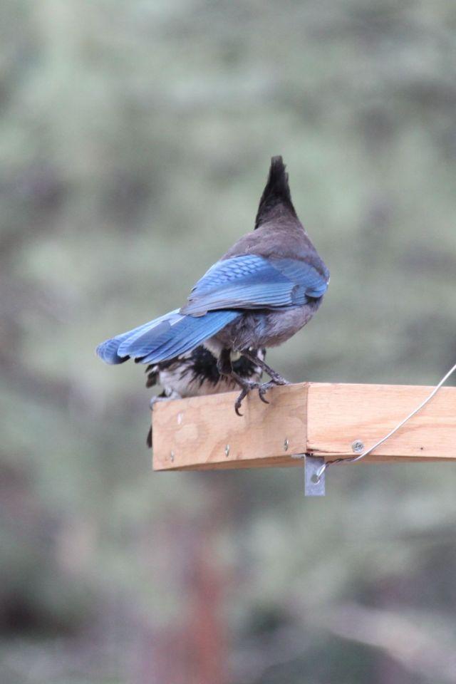 Steller's Jay and Acorn Woodpecker