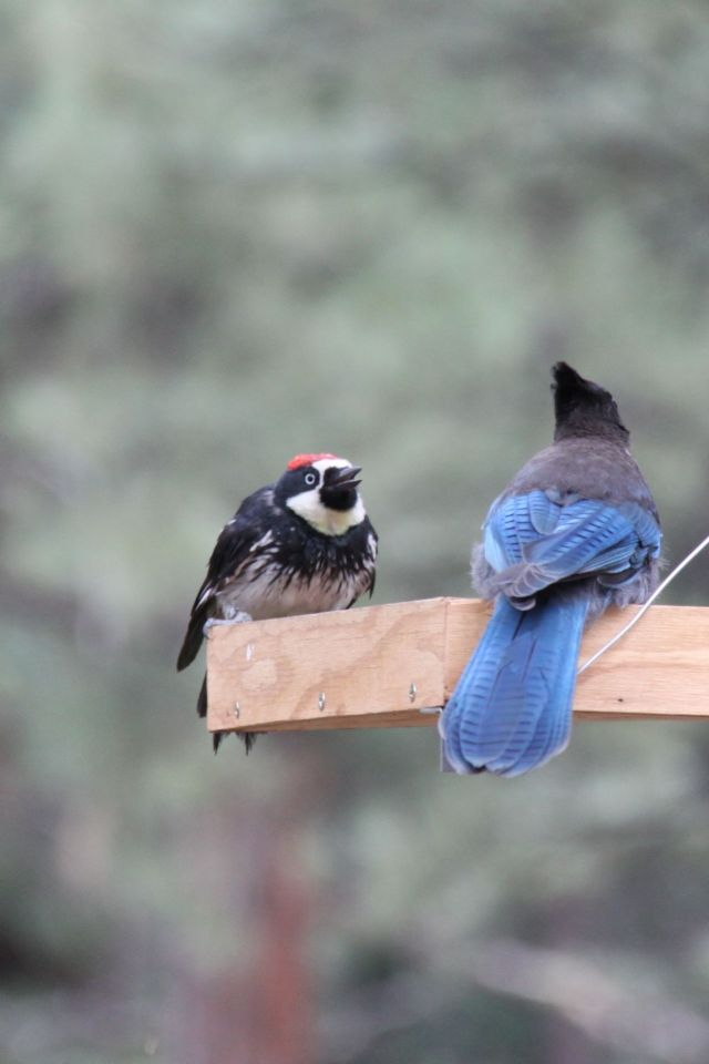 Acorn Woodpecker and Steller's Jay