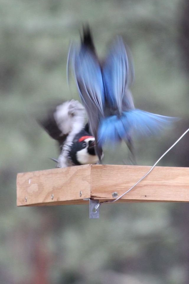 Argument between jay and woodpecker