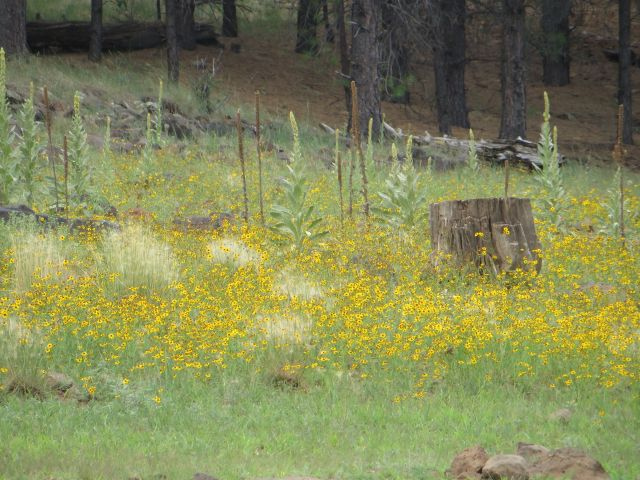 Woolly Mullein and masses of yellow wildflowers grow on the shore.