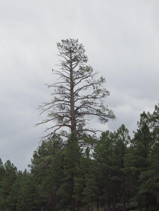 A towering Ponderosa Pine