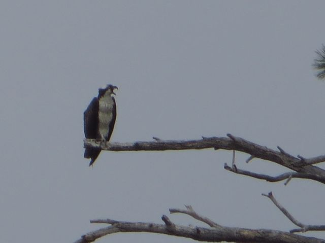 An Osprey watched from the tree!