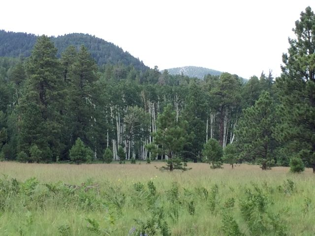 A stand of aspen seen from Weatherford