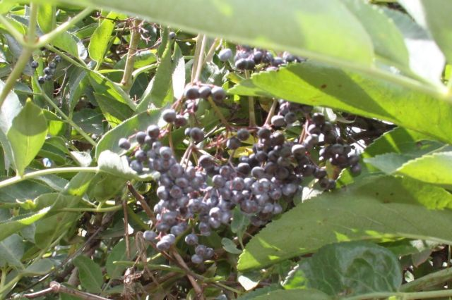 Blue Elderberries are edible