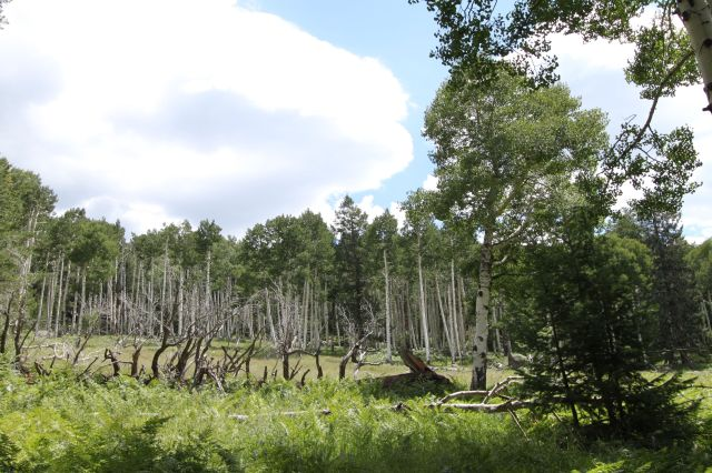 Quaking Aspens and big meadow