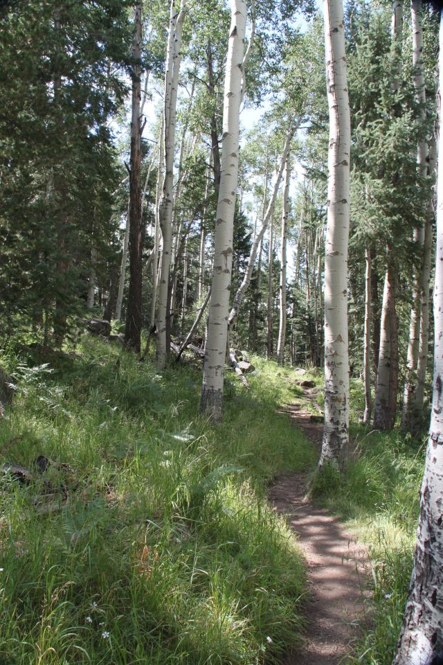 Kachina Trail winds through the aspen groves