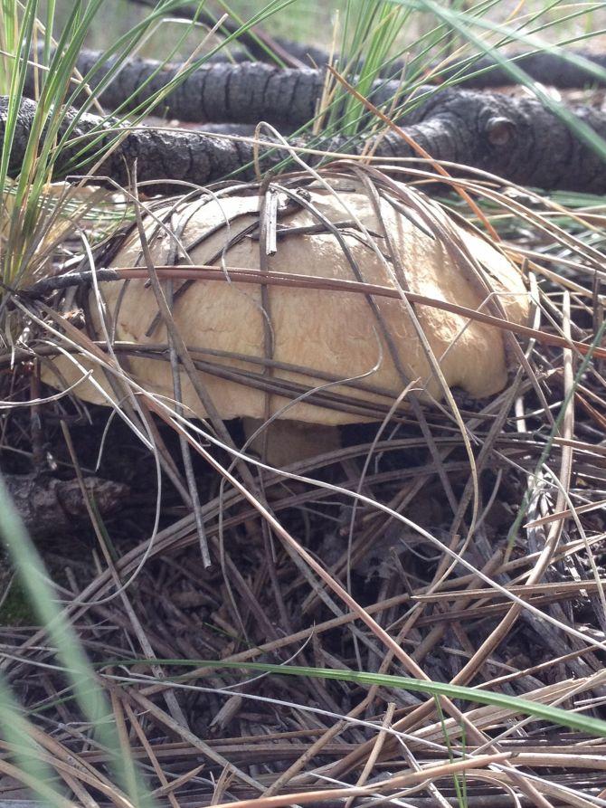 Tan Mushroom coming thru pine needles