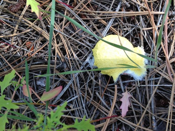Yellow slime mold