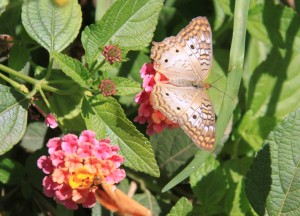 Anartia jatrophae, White Peacock