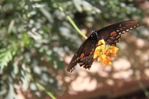 Male Papillio troilus, Spicebush Swallowtail
