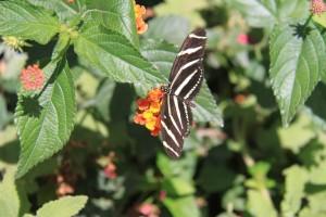 A Zebra Longwing, Heliconius charitonius