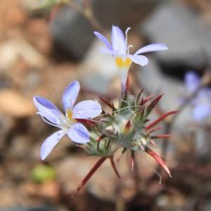 Cave Creek Eriastrum diffusum, Phlox Family ( Polemoniaceae ), Miniature Wool Star