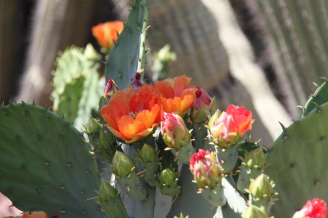 Brilliant orange flowers cover this large prickly pear.