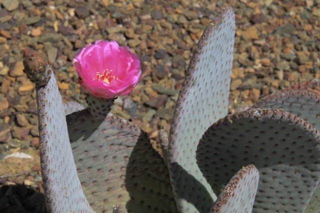 This Beavertail Prickly Pear has bright pink flowers.