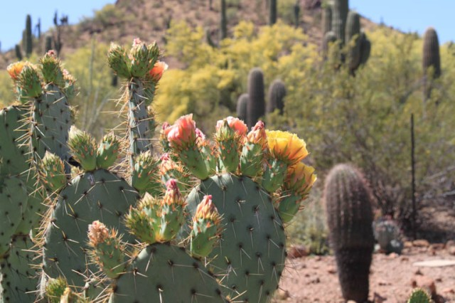 Englemann's Prickly Pear (Opuntia engelmannii) has pink buds but yellow flowers.