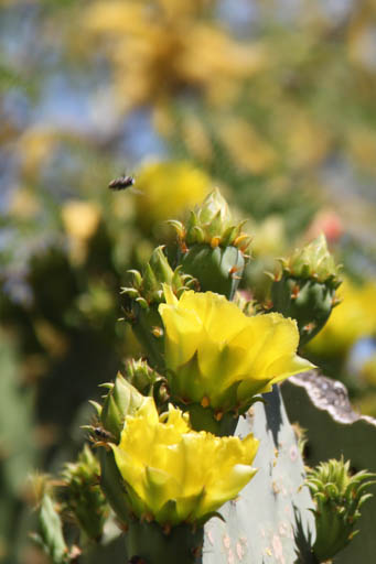 A bee is making an interesting approach to the flowers on this pricklypear.
