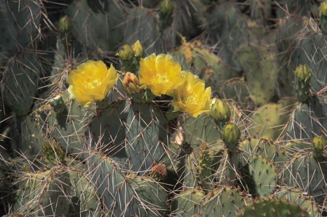 This  pricklypear has lovely yellow blossoms and very long spines.